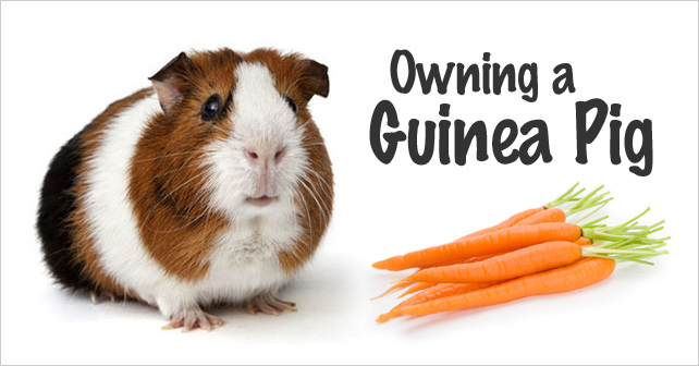 Owning a Guinea Pig